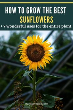 To Grow The Best Sunflowers + 7 Wonderful Uses For The Entire Plant Hardy and non-fussy, sunflowers are very easy to grow.Hardy and non-fussy, sunflowers are very easy to grow. Dwarf Sunflowers, Growing Sunflowers, Planting Sunflowers, How To Plant Sunflowers, Sunflower Garden, Home Vegetable Garden, Garden Care, Garden Tips, Garden Ideas