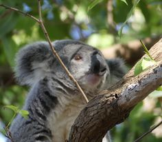 #wildlife #mammal #nature #animal #wild #zoo #tree #primate #cute #wood #outdoors #portrait #noperson #monkey #fur #young #looking #endangered #tropical #jungle #asklisa #koala #fz300 #australia #portmacquarie