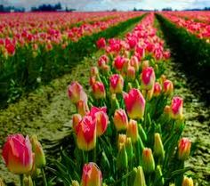 Skagit Valley Tulips. http://photography.johncuthbert.com/wp-content/uploads/2010/04/TULIPS-close-row-pink-20100.jpg