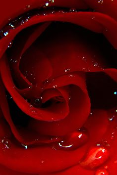 tears of a red rose