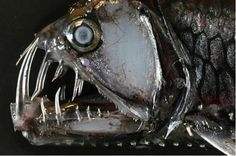 Really scary looking fish. Viper Fish.   Posted by Virginia Institue of Marine Sciene (VIMS)