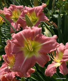 'MABEL NOLEN' Daylily. Rosy pink blooms have wide ruffled petals with a white midrib around a yellow throat. Fragrant.