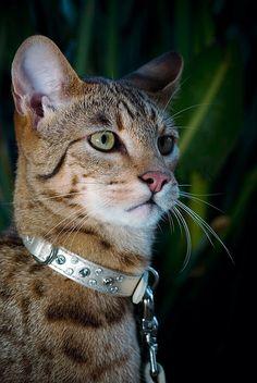 1000 Images About Ashera Cat On Pinterest Savannah Cats