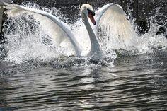https://www.theatlantic.com/photo/2017/07/swan-upping-on-the-thames/533877/