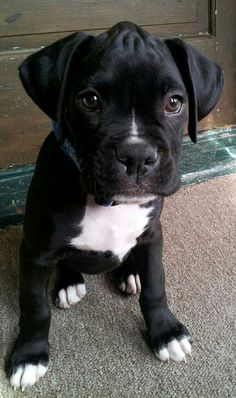 Reverse Seal Brindle Boxer puppy