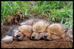 awwww!! so cute, wolf pups