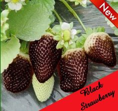 20 Seeds Rare Black Strawberry 20 White Snow by OneFlowerShop Black Strawberry, Strawberry Seed, Strawberry Plants, Fruit Plants, Bonsai Seeds, Tree Seeds, Apple Tree From Seed, Weird Fruit, Alpine Strawberries