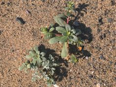 California native dune plants grow in a 2-acre plot on the north end of Santa Monica Beach.