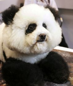 a great reason to buy a white, fluffy dog, so you can dye it to look like a panda.so awesome! Looks like a baby panda! Panda Puppy, Funny Animals, Cute Animals, Poor Dog, Fluffy Dogs, Kawaii, Dog Costumes, Dog Grooming, Fur Babies
