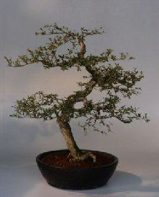 Dwarf Black Olive Bonsai