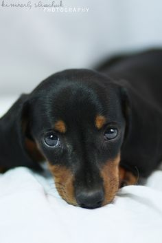 Dachshund puppy dog doxie