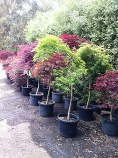 Weeping Japanese Maple Tree - pot - BIG and established Potted Trees, Flowering Trees, Zen Design, Maple Tree, Japanese Maple, Red Dragon, Acer, Idaho, Bonsai