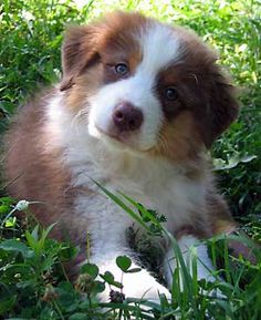 My Lucy Bell    (with a little more white)  Australian Shepherd.. s
