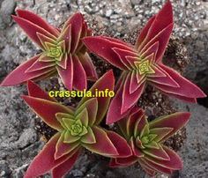 Crassula erosula 'Flame' | now some day I shall own that.:
