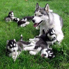 Looooove huskies!!