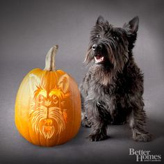Scottish Terrier Pumpkin:        Gigi, who weighs 20 pounds, is almost 2 years old. She has a big bark for such a small dog. Her favorite things are watching people or cars go by, dirty socks (she likes to steal them out of the hamper), saltine crackers, and peanut butter.        -- Veronica Toney, Gigi's owner