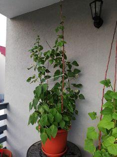 Beans in my balcony garden Balcony Garden, Beans, Balcony Gardening, Beans Recipes
