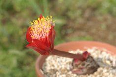 Haemanthus unifoliatus