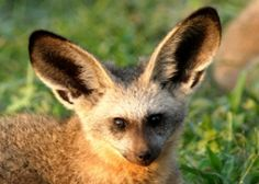 Bat-Eared Fox~ A single bat-eared fox can eat up to 1.15 million termites each year—this is about 80% of its diet! The bat-eared fox is losing its living space to humans. As human populations grow and expand, they encroach on wildlife habitats as they build new settlements, increase agricultural production, and construct new roads.