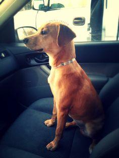 #adoptdontshop Clarrisa Labrador Retriever Mix • Young • Female • Medium Greater Charlotte SPCA Charlotte, NC