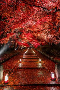Kyoto, Japan. Gorgeous red Japanese maple and walkway at night, with great lighting.