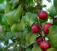 """Prunus ilicifolia(Common names: """"Hollyleaf cherry"""",[1]""""Evergreen cherry"""";[2]""""Islay"""" -SalinanNative American[3]) is an evergreen shrub[1]to tree, producing edible cherries, with shiny andspinytoothed leaves[1]similar in appearance toholly. It is native to thechaparralareas of coastalCaliforniaand northernBaja California,[2][4]as well as thedesert chaparralareas of theMojave desert.Holly-leaved cherry grows 8 to 30 feet tall, with thick,alternateleaves 1 to 2 inches in…"""