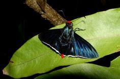 As borboletas do gênero Pyrrhopyge podem seguir grupos de pássaros para se alimentarem das fezes das aves – Foto: Fábio Paschoal