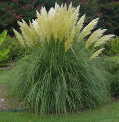 Jet Streams Dwarf Pampas Grass Cortaderia selloana pumila Compact Ornamental Grass Beautiful 6 foot tall plumes by Janny Dangerous Perennial Grasses, Ornamental Grasses, Perennials, Tall Grasses, Outdoor Plants, Garden Plants, Outdoor Gardens, Landscaping Along Fence, Backyard Landscaping