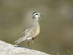 Dotterel on one of our Speyside holidays by Simon Eaves