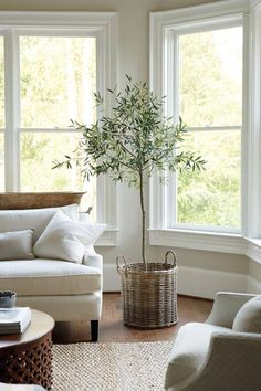 Olive tree in the livingroom, natural light undisturbed by blinds Baskets for potting... pure genius