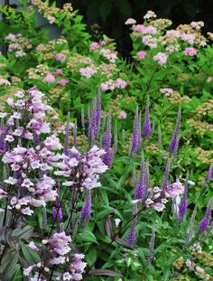 "Penstemon ""Dark Towers"" Three Dogs in a Garden: Core Mid-Summer Plants & Pretty Combinations"