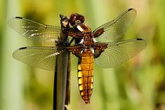 Europe's 10 Most Swift and Vibrant Dragonflies ~ Broad-bodied Chaser