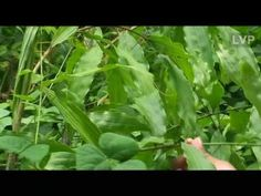 Uploaded on May 30, 2008 Traditional Mayan medicinal plant tour - part of the Ecotourism programme organized by the TEA in Belize, Central America