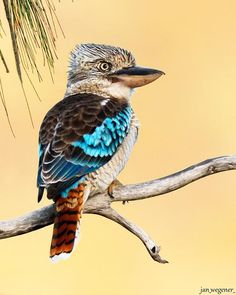 Blue-winged Kookaburra •