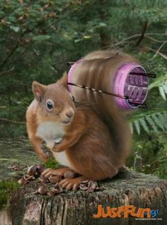 Squirrel has been hair dressed by putting a hair curler in its tail. The colours have made the squirrel look beautiful. the squirrel has been placed sitting on a log. This image is effective as it is creating humour. Funny Squirrel Pictures, Funny Animal Pictures, Pictures Of Animals, Animals And Pets, Funny Animals, Cute Animals, Funny Pets, Wild Animals, Funny Humor