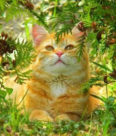 """A beautiful """"ginger"""" for a special friend. Pretty Cats, Beautiful Cats, Animals Beautiful, Cute Animals, I Love Cats, Crazy Cats, Cute Cats, Orange Tabby Cats, Red Cat"""