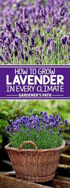 If you're looking for a beautiful addition to your garden that requires very little maintenance while offering a bountiful harvest year after year, then lavender is the plant for you! Learn what variety fits with your region and the best tips to grow it on Gardener's Path.