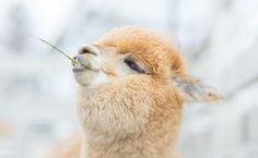 """Just make peace maahhhaaaaan."" Hippie Alpaca Date unknown."
