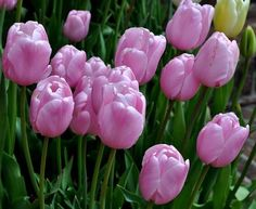 (510) Beautiful tulips