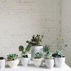 Des cactus dans leur habit blanc.