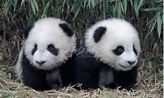 panda - Bing Images