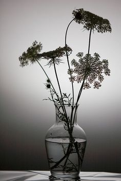 Queen Anne's Lace ~ Photography by cindiann on Flickr.