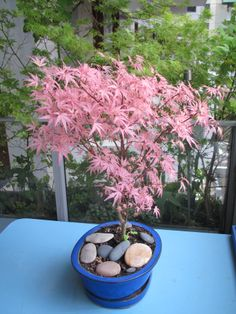 Bonzaï Erable du japon 'Taylor' (Acer palmatum)