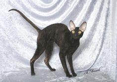 Black Rex