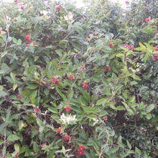 Hedgerow (native)