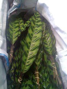 calathea pluma de indio