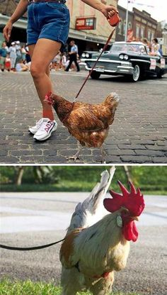 OMG... Pet chickens on a leash, haha awesome!