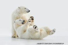 Polar bears playing on ice