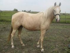 Sunshine is an adoptable Missouri Foxtrotter Horse in Champaign, IL. Sunshine is a palomino horse. She is extremely timid but otherwise is sound and healthy. She is not started to ride and will need a...