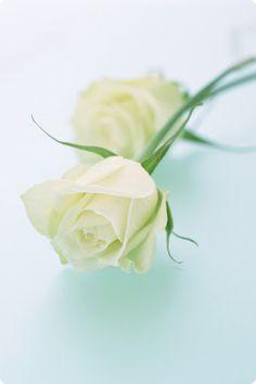 Duo white roses